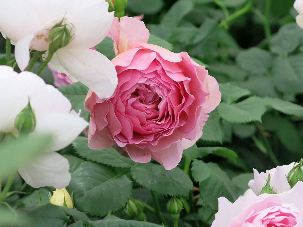 Dusky rose pink